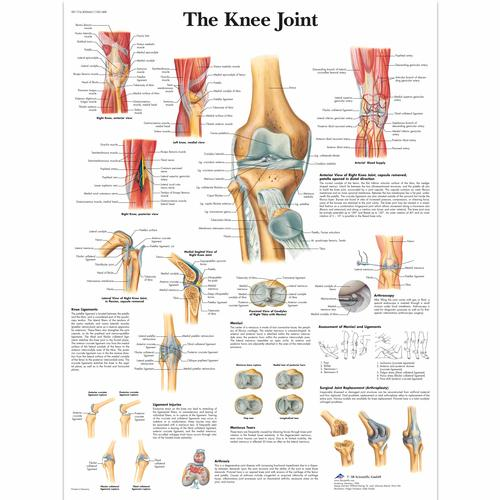 The Knee Joint, 4006661 [VR1174UU], Sistema Scheletrico