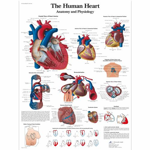 The human heart Chart - Anatomy and Physiology, 1001524 [VR1334L], Strumenti didattici cardiaci e di cardiofitness