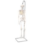 "Mini scheletro ""Shorty"", su stativo, anche da appendere - 3B Smart Anatomy, 1000040 [A18/1], Mini-Scheletro"