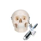 Mini cranio, in 3 parti - 3B Smart Anatomy, 1000041 [A18/15], Modelli di Cranio