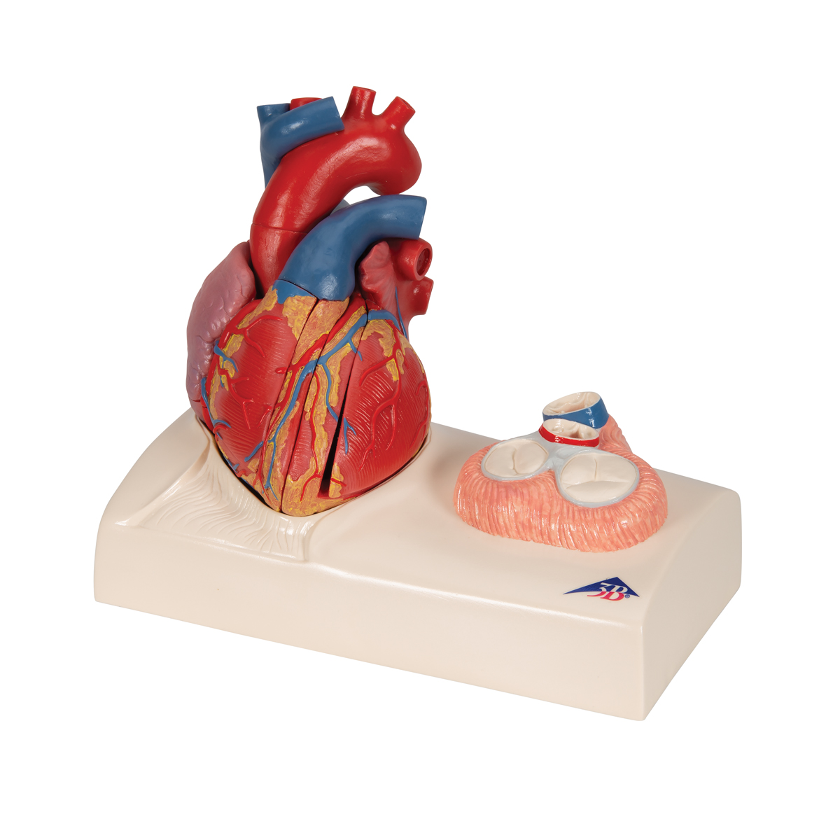 Modello di cuore magnetico a grandezza naturale 5 parti for Piani di fattoria a grandezza naturale