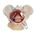 Pelvi femminile con legamenti, vasi, nervi, pavimento pelvico e organi, in 6 parti - 3B Smart Anatomy, 1000288 [H20/4], Women's Health Education