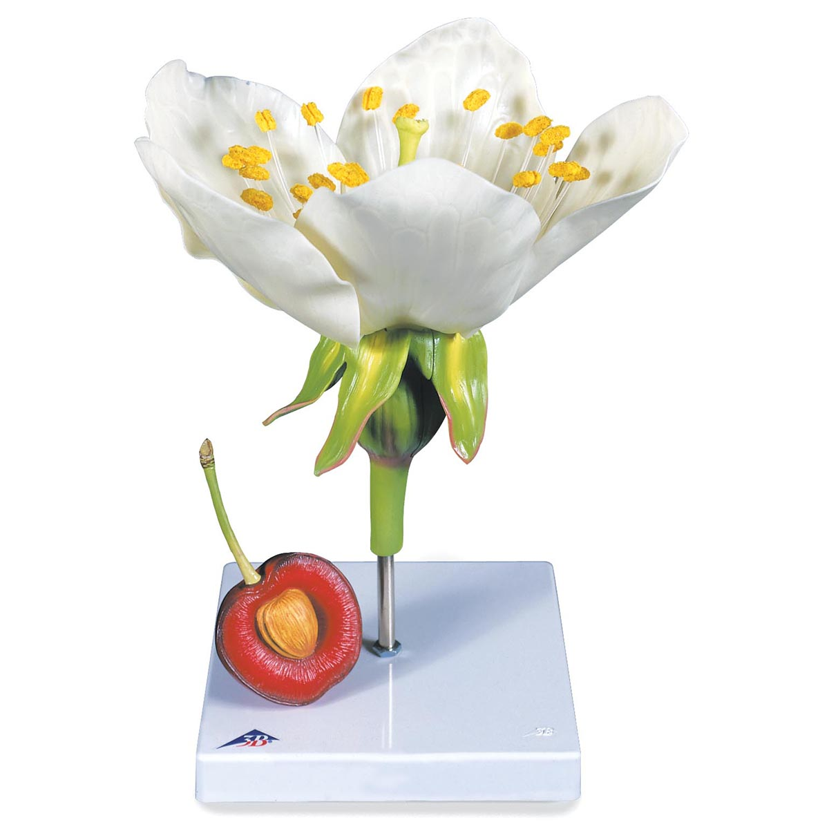 Fiore di ciliegio con frutto prunus avium modello - Modello di base del fiore ...