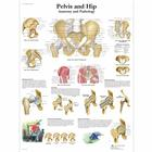 Pelvis and Hip Chart - Anatomy and Pathology, 1001486 [VR1172L], Sistema Scheletrico