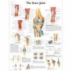 Knee Joint Chart, 1001488 [VR1174L], Sistema Scheletrico