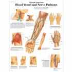 Clinically Important Blood Vessel and Nerve Pathways Chart, 1001530 [VR1359L], sistema Cardiovascolare