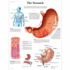 The Stomach, 1001546 [VR1426L], Il sistema digestivo
