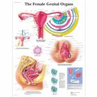 The Female Genital Organs, 4006701 [VR1532UU], Ginecologia